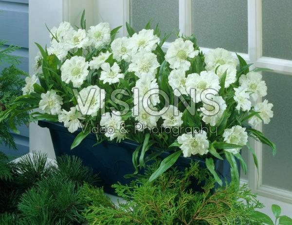 Scabiosa white
