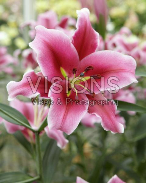 Lilium Paraguay