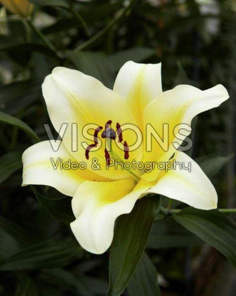 Lilium Manissa