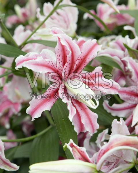 Lilium Magic Star