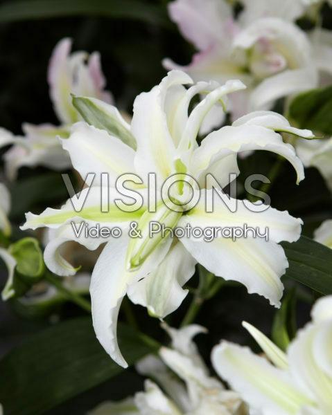 Lilium Polar Star