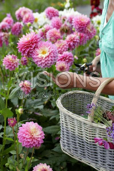 Woman picking summer flowers
