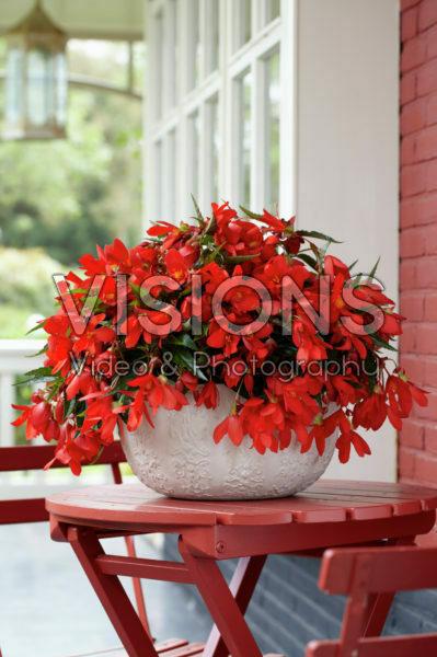 Begonia Encanto