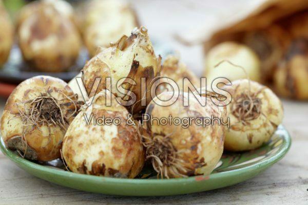 Camassia bulbs