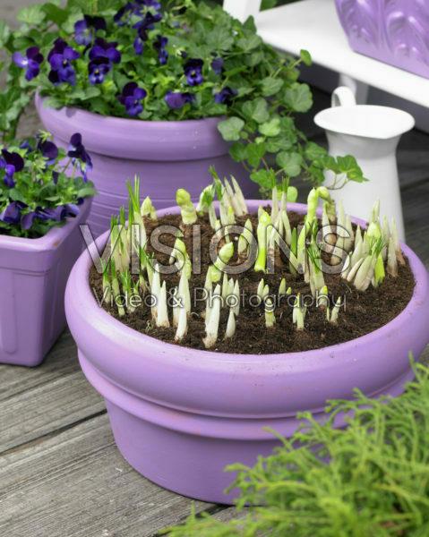 Spring bulbs on pot