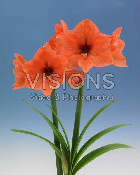 Hippeastrum Oranje Eos