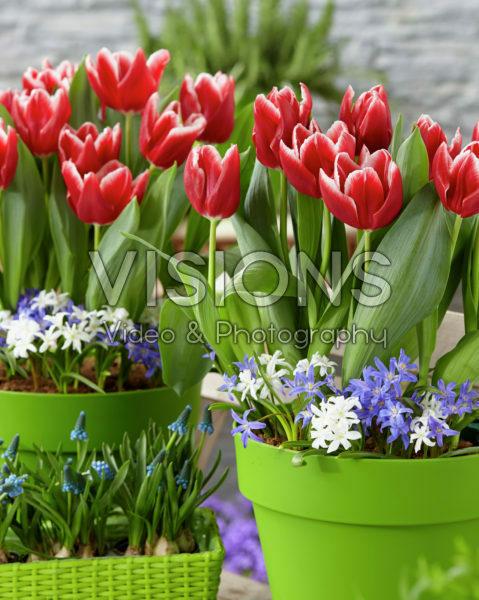 Tulipa Vampire