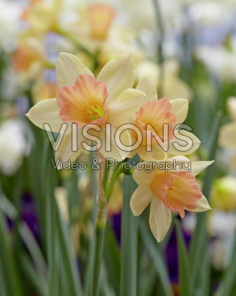 Narcissus Blushing Lady