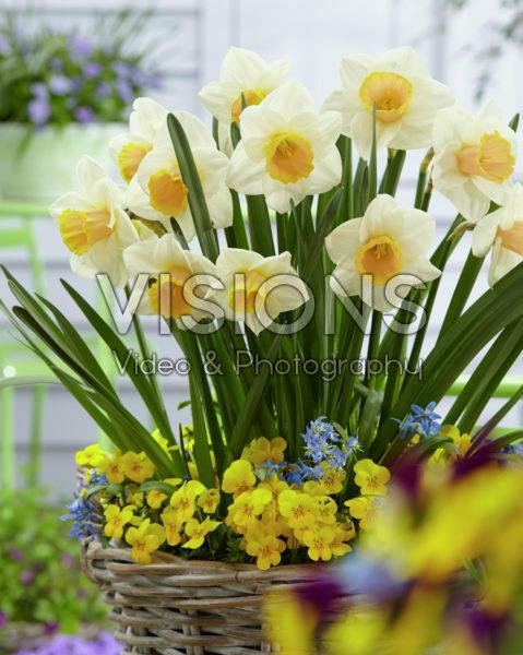 Narcissus Salome