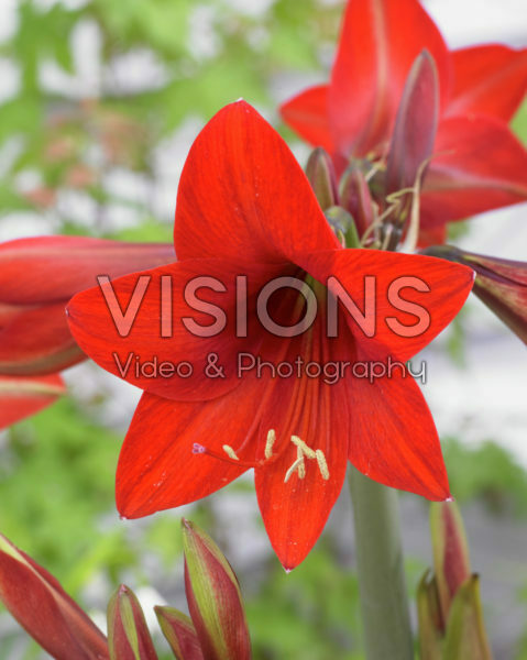 Hippeastrum Red Rascal ®
