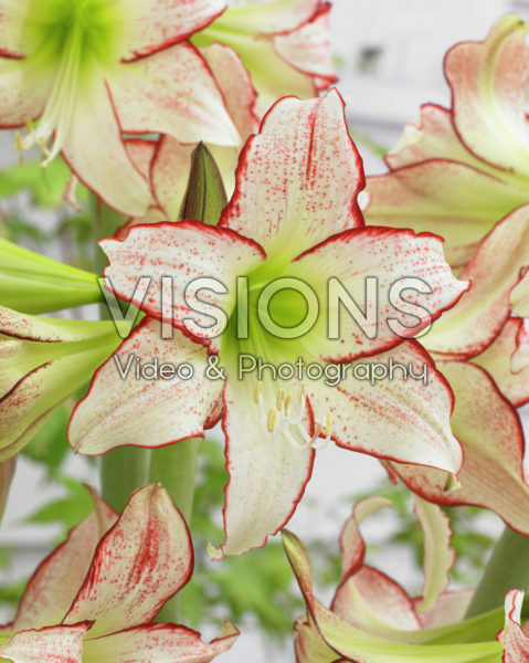 Hippeastrum Stips & Stripes ®