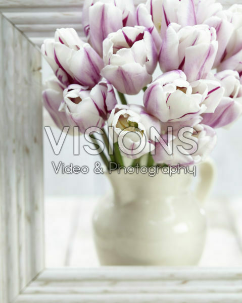 Tulipa Flaming Flag