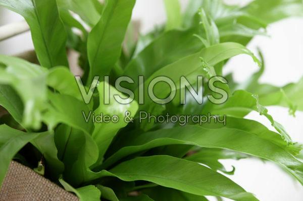 Asplenium nidus Chrissie