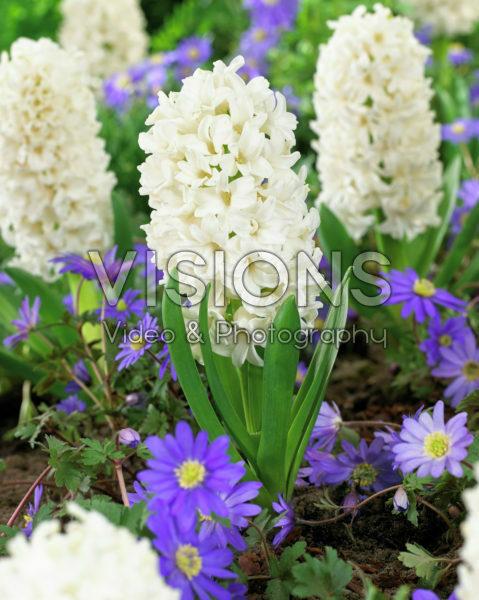 Hyacinthus White Ideal