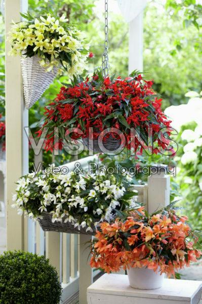 Begonia Beauvilia® collectie