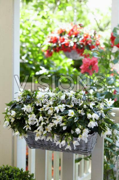 Begonia Beauvilia® White