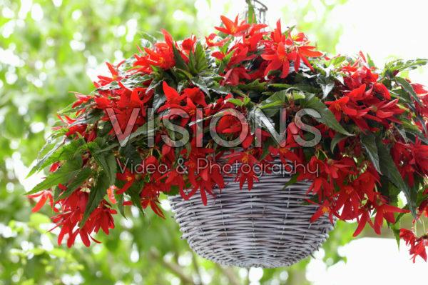 Begonia Beauvilia® Red
