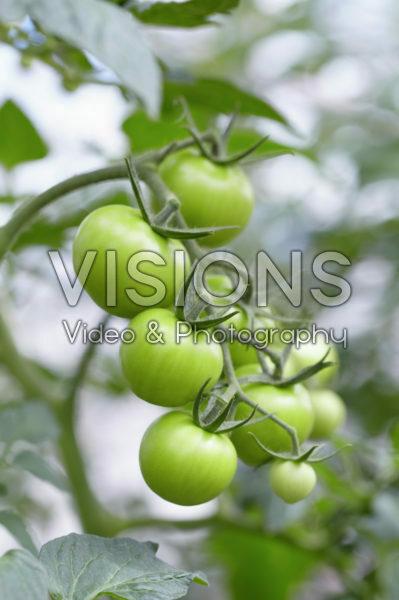 Solanum lycopersicum Torero