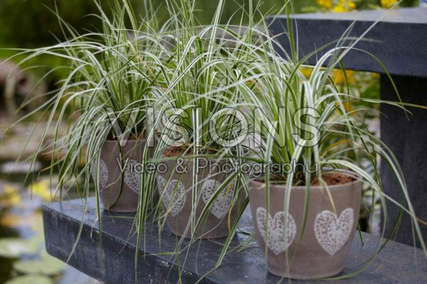 Carex on pot