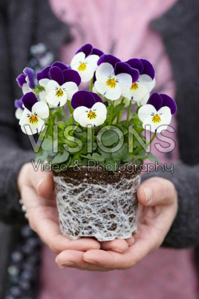 Viola cornuta Petit