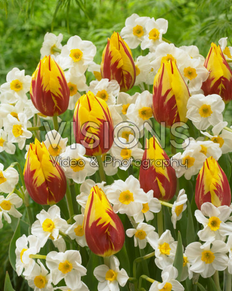 Tulipa Mickey Mouse, Narcissus Laurens Koster