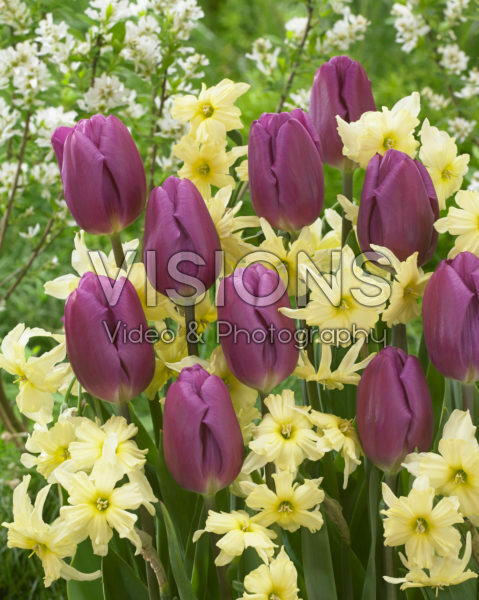 Tulipa Purple Flag, Narcissus Exotic Mystery