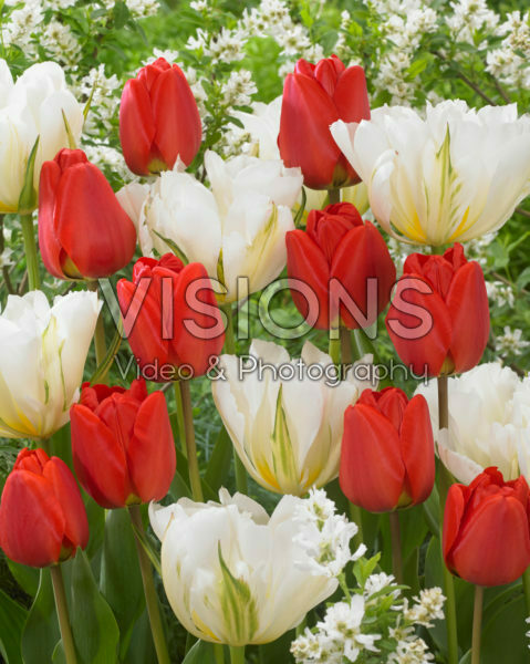 Tulipa White Valley, Apeldoorn