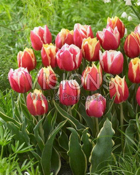 Tulipa Ophelia, Toplips