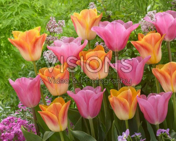 Tulipa Mistress, Salmon Dynasty