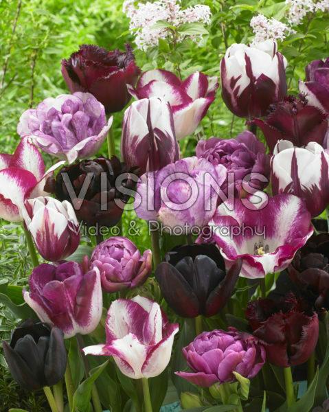 Tulipa mix in roze en paars