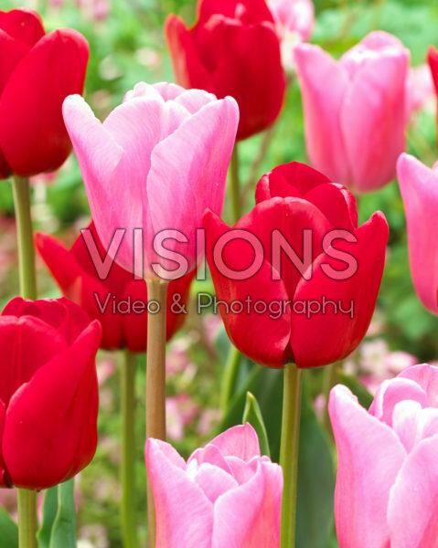 Tulipa Unique de France, Mistress