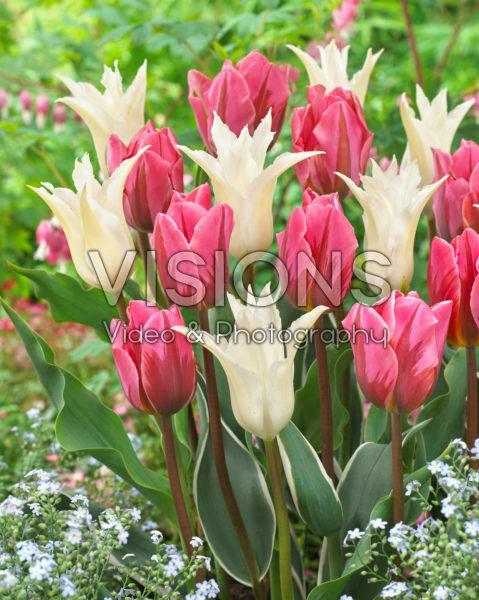 Tulipa Tres Chic, Pretty Princess