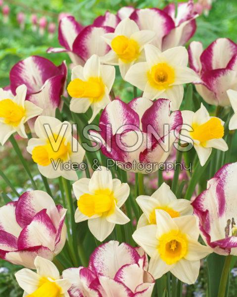 Narcissus Mrs Iwasa Masako, Tulipa Affaire