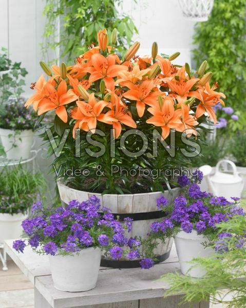 Lilium orange