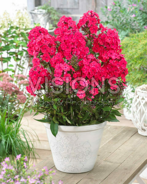 Phlox paniculata Younique® Red