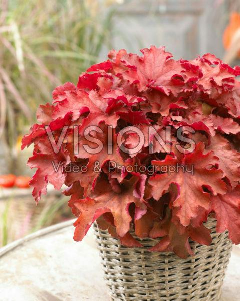 Heuchera Cranberry