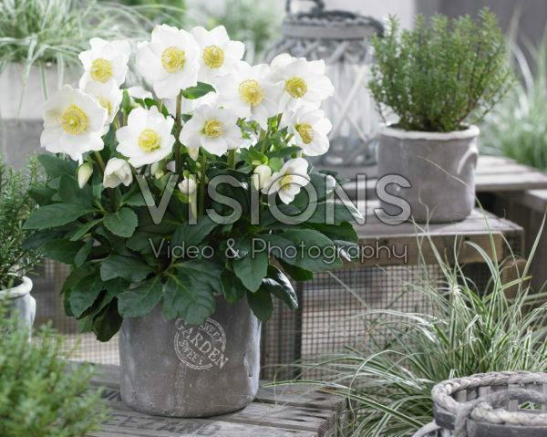Helleborus HGC® Wintergold