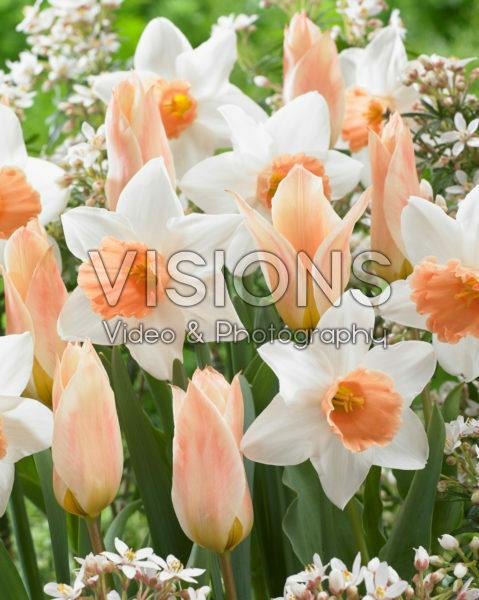 Tulipa Fur Elise, Narcissus Accent