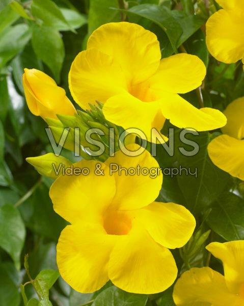 Mandevilla Bloom Bells® Yellow