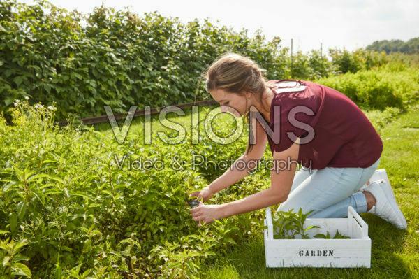 Lady harvesting mint
