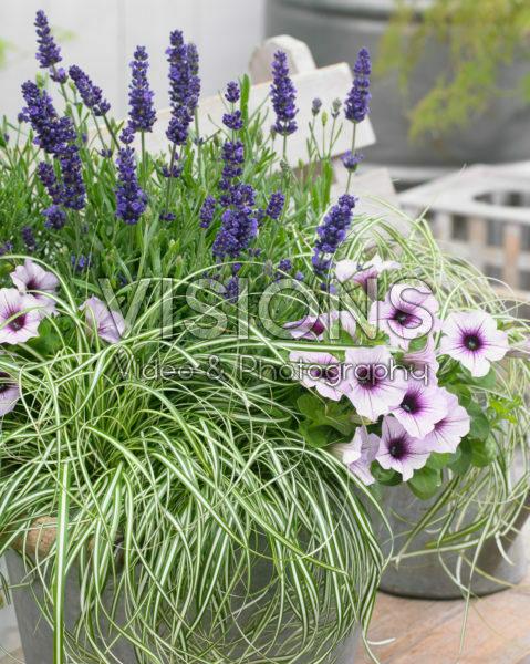 Carex EverColor® Everlite