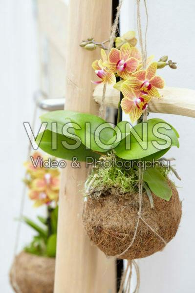 Phalaenopsis yellow