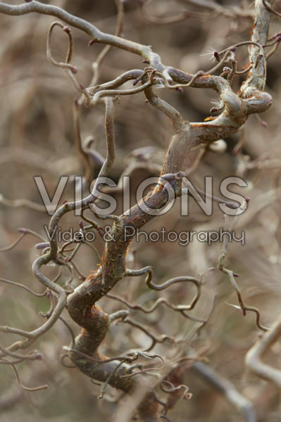 Corylus Red Majestic®