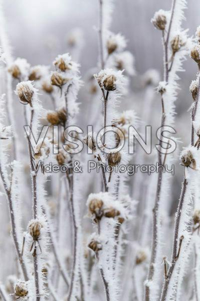 Hibiscus syriacus Lavender Chiffon