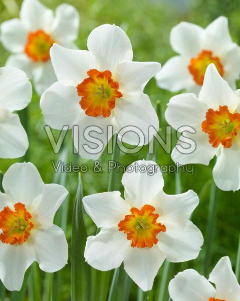 Narcissus June Allyson
