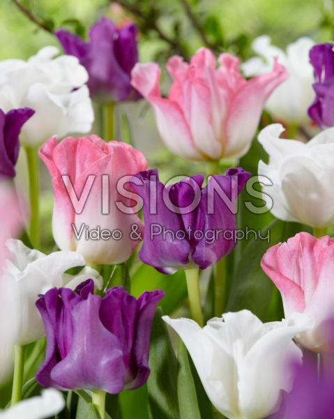 Tulipa Crown of Dynasty, Negrita Picture, White Liberstar