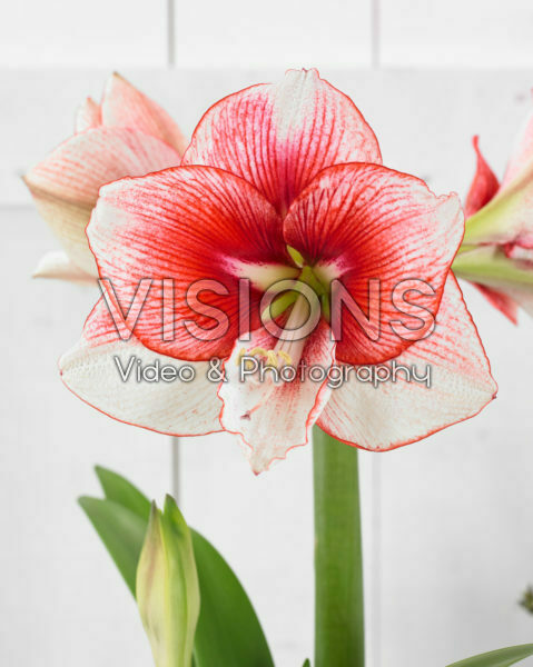 Hippeastrum Showmaster