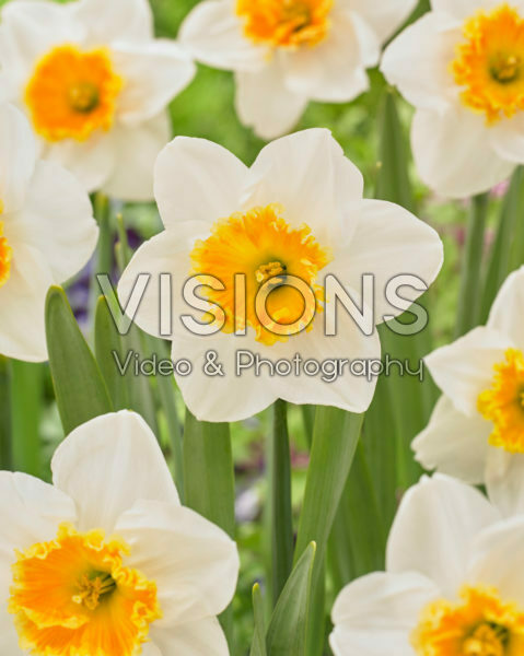 Narcissus large-cupped