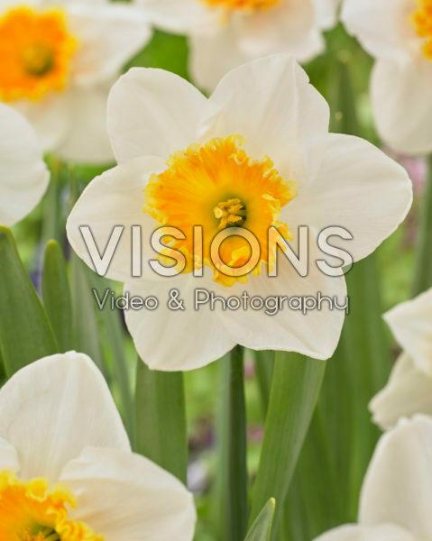 Narcissus grootkronig