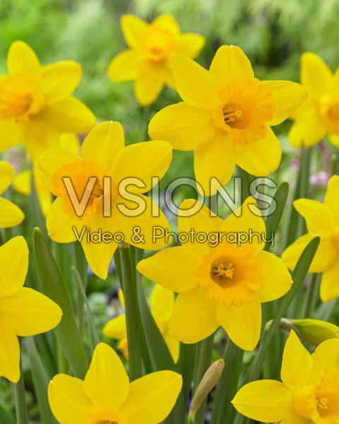 Narcissus Golden Regency